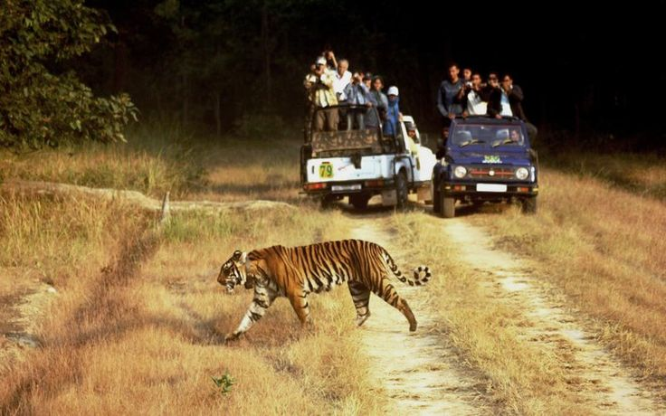 Wildlife tourism can be seen as both negative and positive. Indian wildlife tourism supports the positive aspect of this. It is important to be open minded of this topic for there are several reasons why tourism is an important factor to the protection of endangered species.