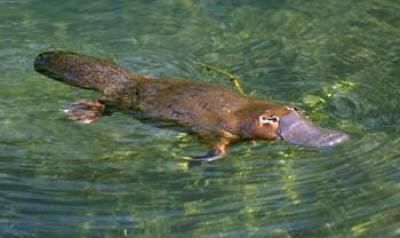 The world's only venomous furred animal, the Duck-Billed Platypus...where?? In Australia!