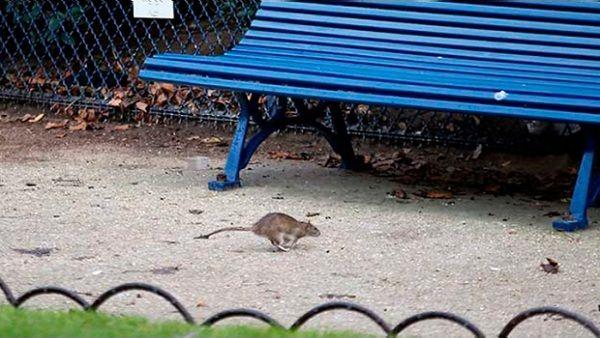 Plazas de París con plaga de ratas