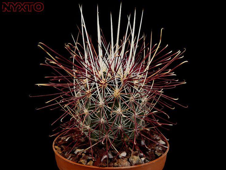 Sclerocactus polyancistrus | by Nyxtofulakas