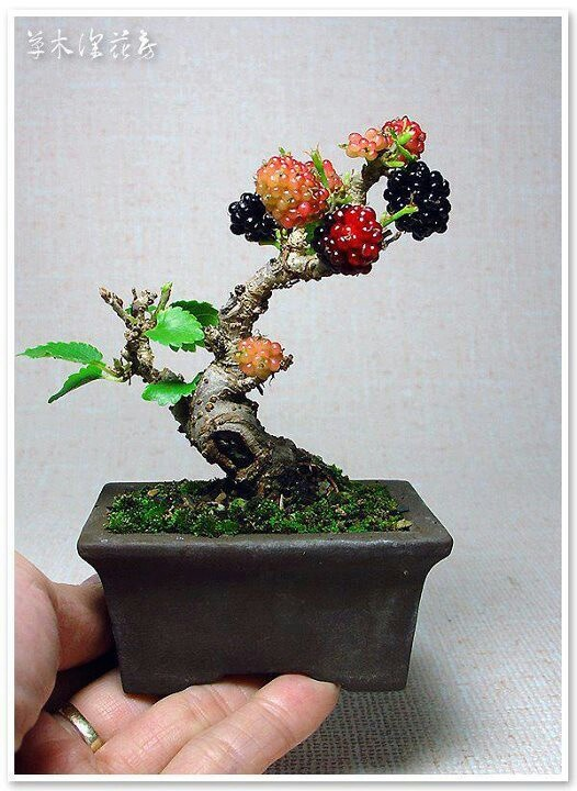 how to create bonsai from nursery plant