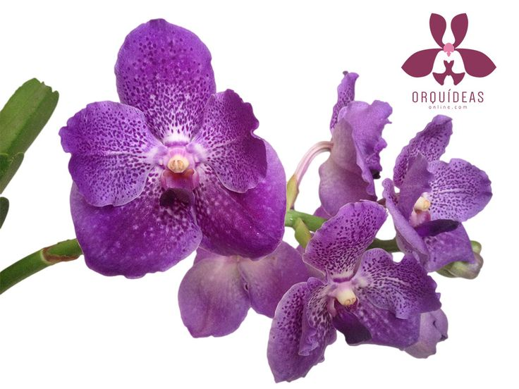 Orqu dea vanda morada las orquideas novios y boda for Cuidado de las orquideas moradas