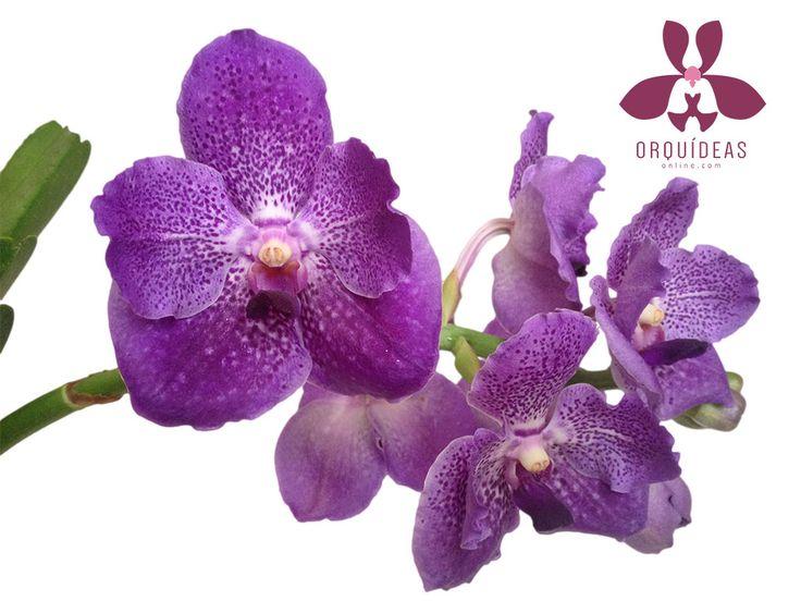 Llegó la orquídea Vanda morada
