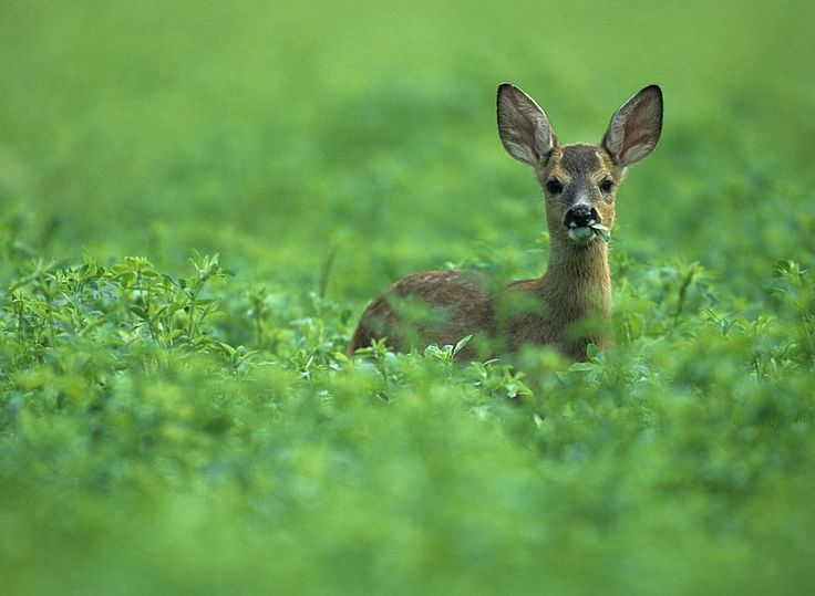 Capriolo by Massimo Sommariva on 500px