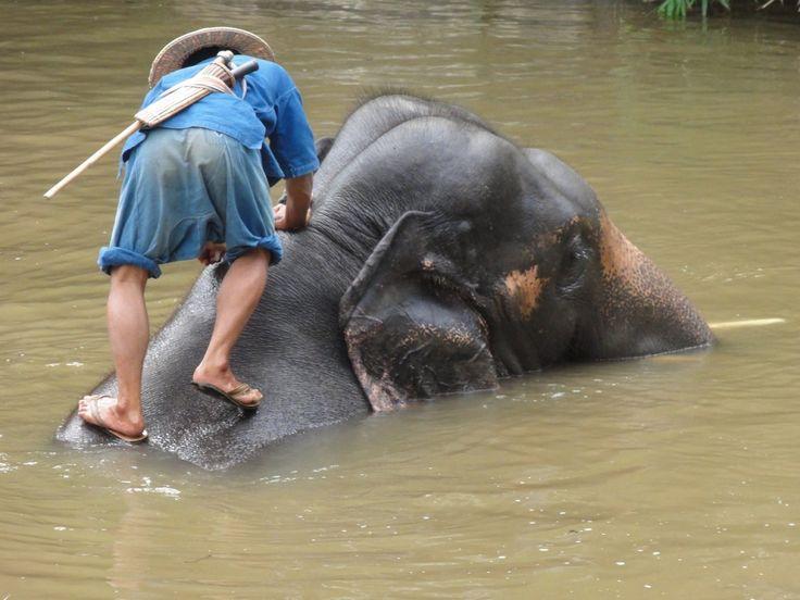 Elefantes tailandeses cuidados por su mahout