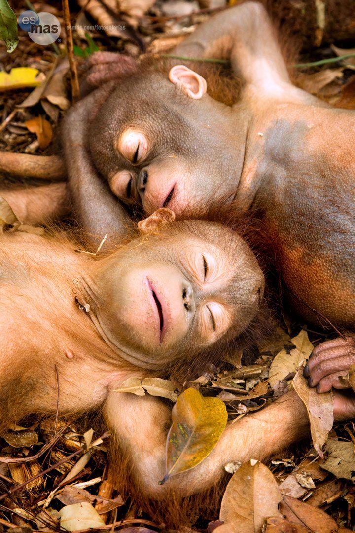 Sleeping Baby Orangutans, Borneo, Indonesia