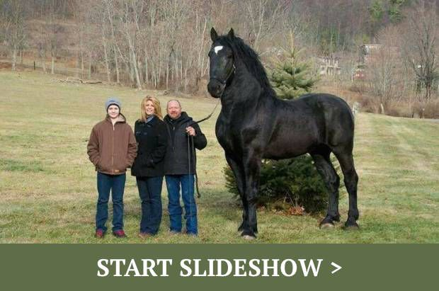 Giant Animals That Actually Exist: A Horse named 'Moose.' Standing at an impressive 19 ft, Moose is one of the largest horses out there and is obviously made of pure muscle.