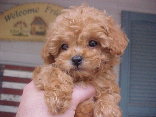 Apricot toy poodle