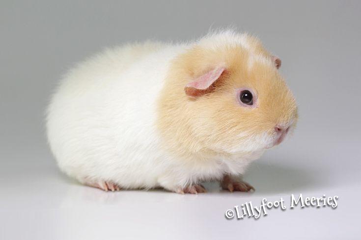 Lillyfoot US Teddy Meerschweinchen in Creme-Weiß. :o))