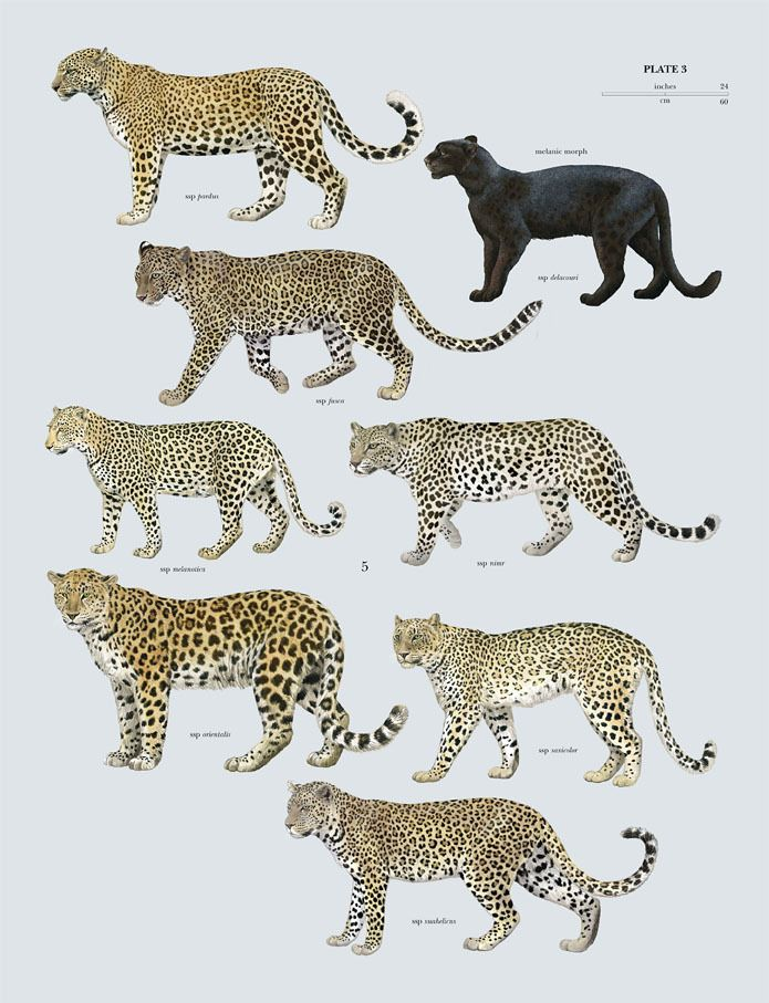 """Leopard (Panthera pardus) plate 3 from """"The Handbook of"""
