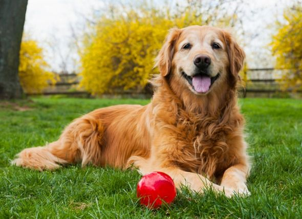 Defining Senior Age In Dogs Golden Retriever Dogs Dog Years