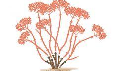 Bei der Schneeball-Hortensie und der Rispen-Hortensie schneidet man im zeitigen Frühjahr oder schon im Spätherbst alle Triebe bis auf kurze Stummel zurück