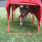 DIY dog agility course. They used a blanket over chairs for a tunnel.