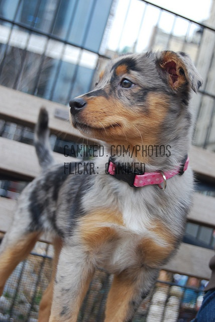 canined 2 month old puppy australian shepherd + australian blue heeler cattle dog mix breed picture 104 by canined.com dog pictures, via Flickr