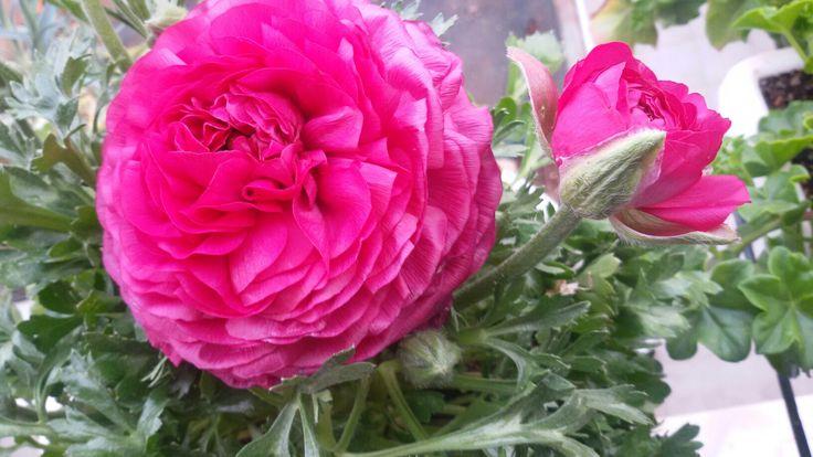 Ρεναγκούλα ή νεραγκούλα ή βατράχι γιατί απαιτεί υγρά εδάφη.Τα μεγάλα και εντυπωσιακά άνθη, διαφορετικών αποχρώσεων, διατηρούνται για αρκετό χρονικό διάστημα στο ανθοδοχείο... αρκούν για να.... μυρίσει το σπίτι άνοιξη!!!