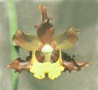 Cyrtopodium braemii