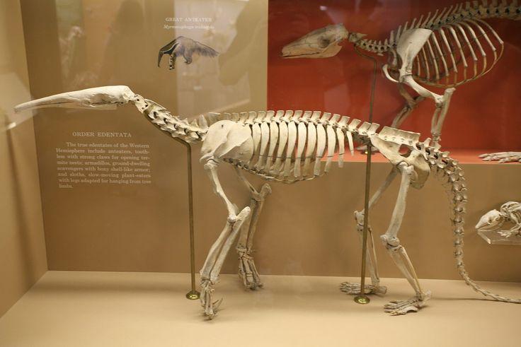 Myrmecophaga tridactyla skeleton - Tamanoir — Wikipédia