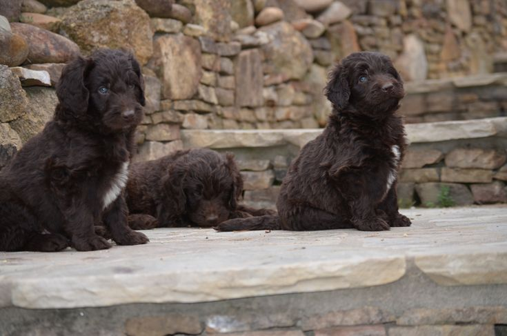 Gorgeous Newfypoo Puppies Up For Adoption Newfiedoodle Newfypoo Newfy Poodle Puppy Puppies Newfypoopuppies F1b Puppies Cute Puppies Puppies For Sale