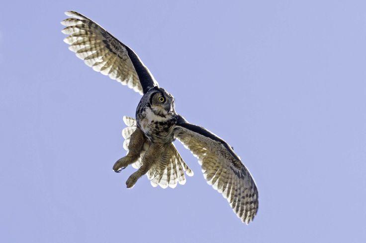 Great Horned Owl Flying Tattoo Great horned owl, Owl ...