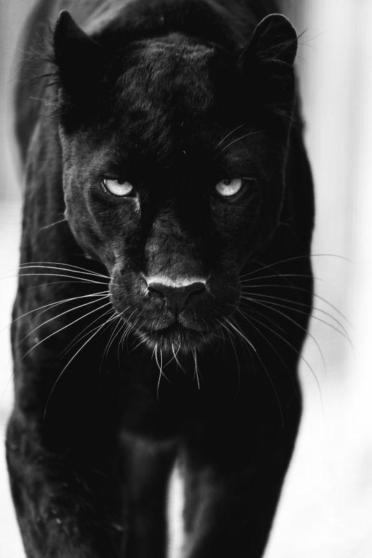 black panther zitate auf pinterest latino bedeutung emma watson bh gr e und wichtigkeit der. Black Bedroom Furniture Sets. Home Design Ideas