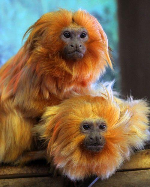 Golden Lion Tamarin | Utah's Hogle Zoo                                                                                                                                                                                 More