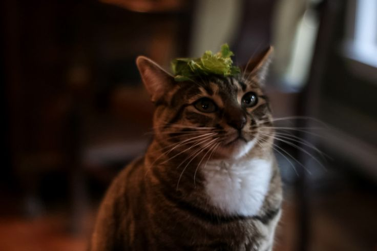 My cat with a head of lettuce http://ift.tt/2qgP56L