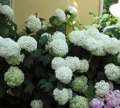 Hydrangea arborescens, Bola de Nieve