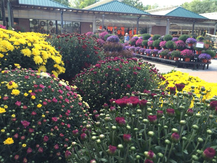 Fall Mums In The All New Courtyard