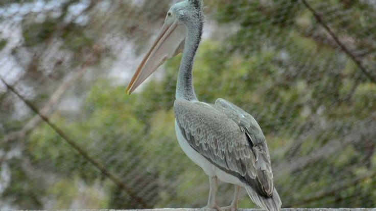 Spot-billed pelican - Video Footage