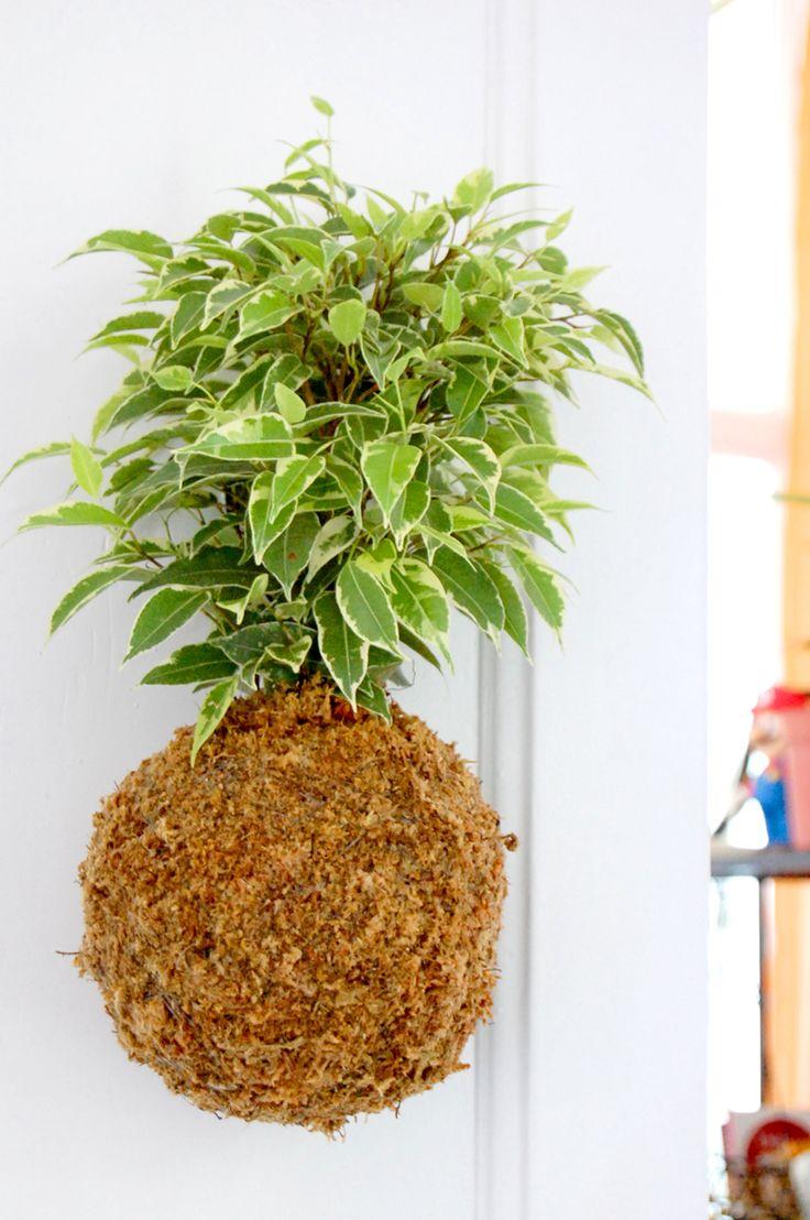 Ficus benjamina variegata kokedama on Floravertical.com