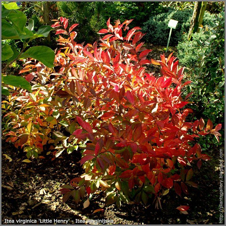 Itea Plant Itea Virginica 39 Little Henry 39 Autumn Itea