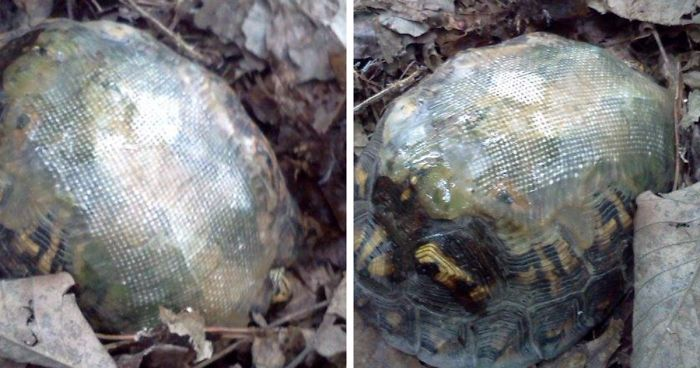 Vet Uses Fiberglass To Fix Turtle's Shell Broken In Car Accident And Releases Him In Woods, Then A Few Years Later… | Bored Panda
