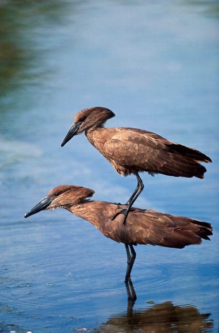 The hamerkop, also known as hammerkop, hammerkopf, hammerhead, hammerhead stork, umbrette, umber bird, tufted umber, or anvilhead, is a medium-sized wading bird 56 centimetres in length with a weight of 470 grams Hamerkop ©Heinrich van den Berg | sent via @latergramme  #BirdsOnSafari #BirdersLife #SouthAfrica #Safari #BringTheCamera #BringBinoculars #Explore #Learn #Discover