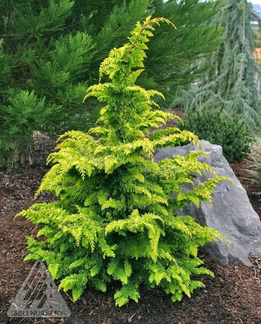 False Cypress 'Gold dwarf' How to add IMPACT to your Gardens