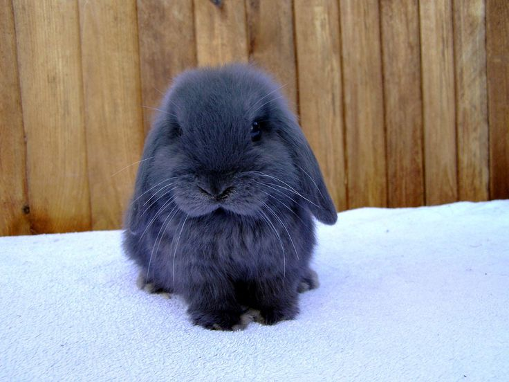 Blue Lop Bunny. Too Adorable!