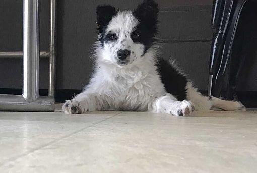 Denver Co Border Collie Meet Peaches A Dog For Adoption