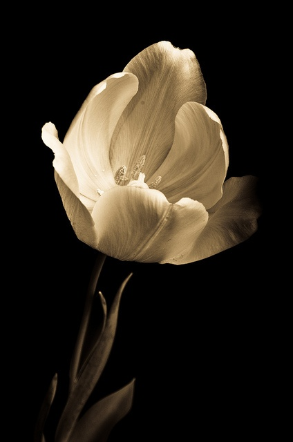 My sweet fiancee takes excellent photos. This tulip is beautiful.
