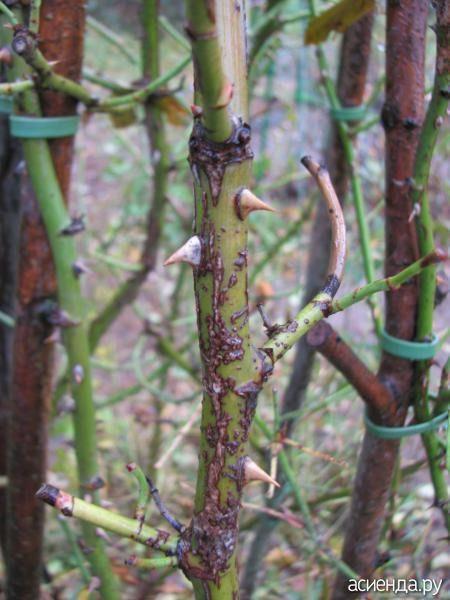 Инфекционные заболевания роз. Инфекционный ожог или стеблевой рак..: Группа Цветы и флористика