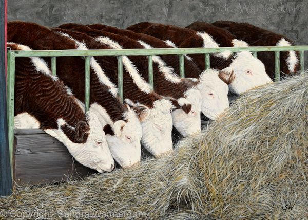 'Breakfast' Hereford Cattle Painting - Acrylic on Paper Board