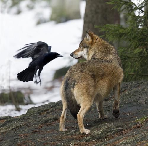 Intelligent animals both, crows and wolves have been known to play together in the wild and it has been observed that crows will sometimes alert wolves to potential prey in order that they might share in the food it would provide.