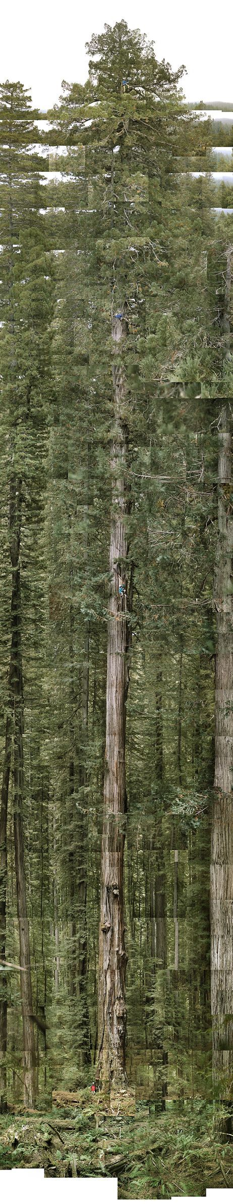 """California Cool: """"Hyperion"""" world's tallest tree.   379.7 feet = twice the height of the Statue of Liberty.  Location - Humboldt Redwoods State Park"""