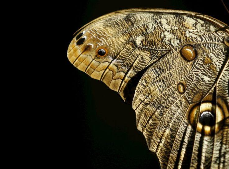 Auge um Auge: Dieser Bananenfalter breitet seine hübschen Flügel im Zoo von San...