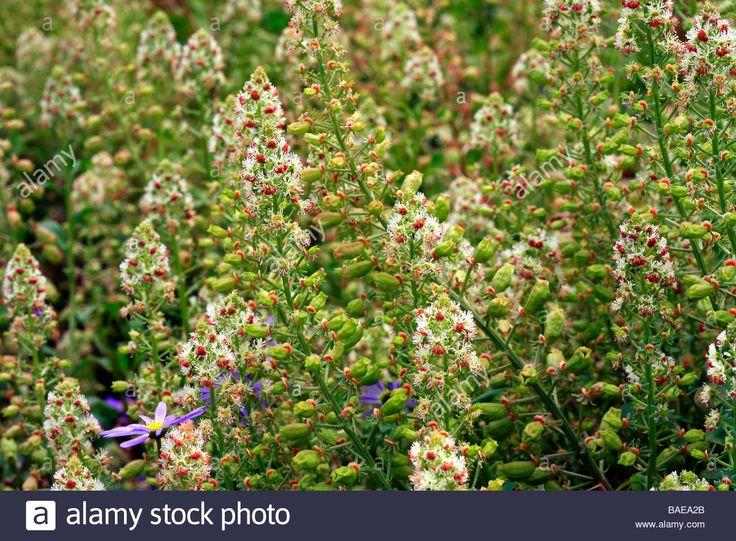 Image result for reseda odorata
