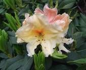 Rhododendron Pineapple Delight-As yellow as they come, frilly edges.