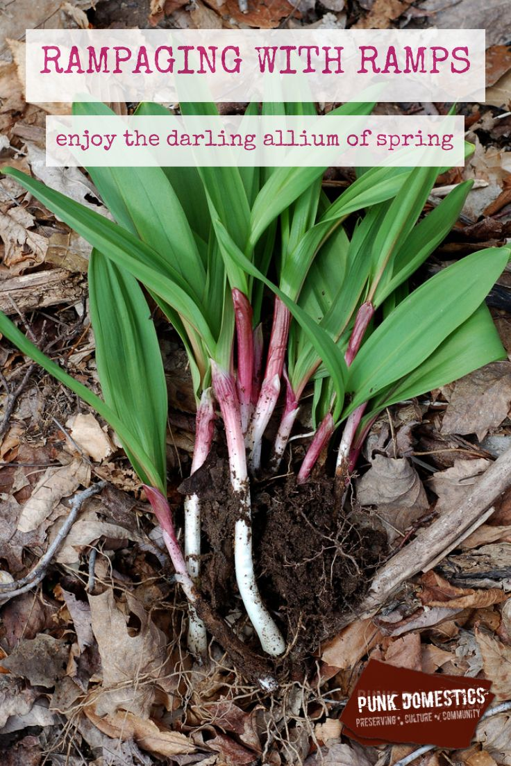 Ramps, or wild leeks, are one of the earliest wild foods to forage, and a great delicacy they are. They're the surest sign that spring is really ramping up. http://www.punkdomestics.com/content/rampage-ramps-0  Image via Eve Fox, Garden of Eating, used with permission http://gardenofeatingblog.blogspot.com/2011/04/harvesting-wild-ramps.html