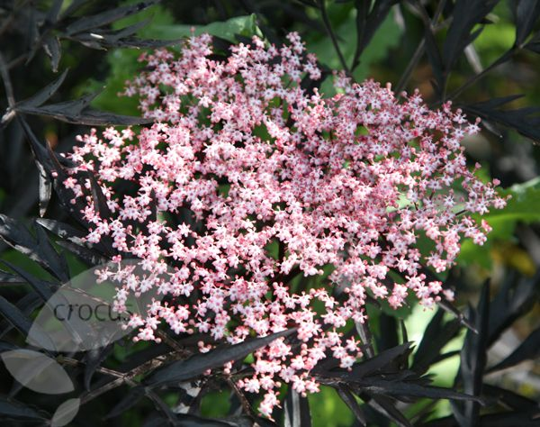 sambucus nigra f porphyrophylla 39 eva 39 pbr black laces. Black Bedroom Furniture Sets. Home Design Ideas