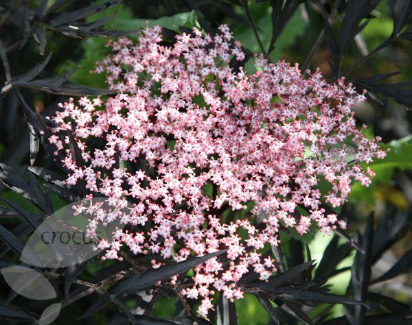 sambucus nigra f porphyrophylla 39 eva 39 pbr black laces sambucus nigra black lace and gardens. Black Bedroom Furniture Sets. Home Design Ideas
