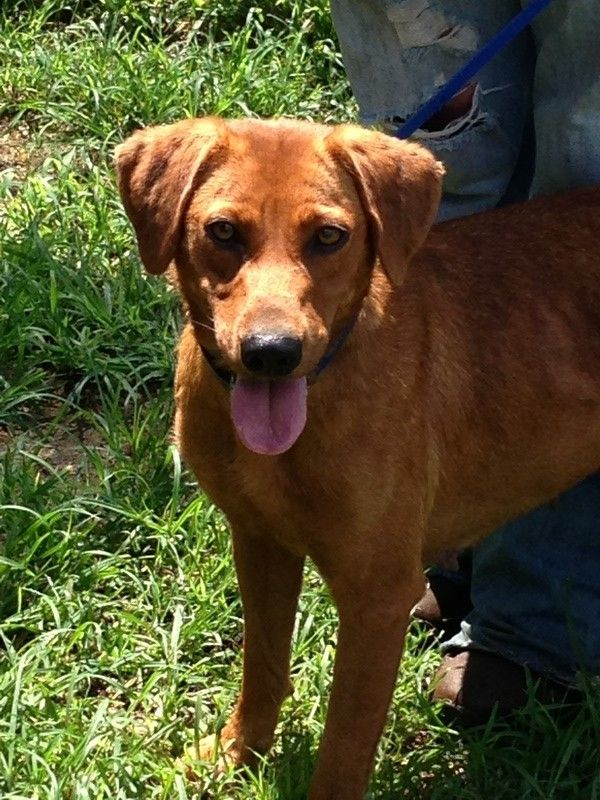 11 Best Coonhound Mix Images On Pinterest Redbone Coonhound Adoption And Dog Houses