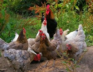 Cada vez son más las personas que se animan a tener un gallinero o corral en casa. Aquí vemos algunas claves para ello.