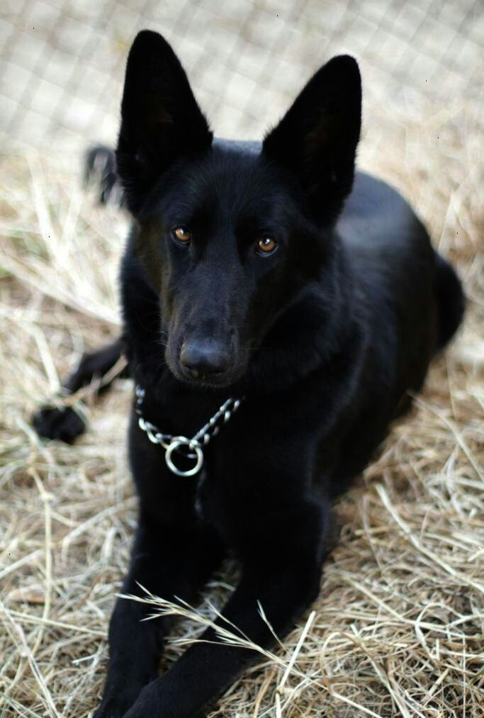 Black German Shepherd Image By Loredana Grippa On Best Friends Ever Black German Shepherd Dog German Shepherd Dogs